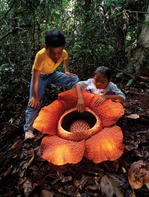 Цветок Раффлезия привлекает не только своих жертв-насекомых, но и туристов, а также местных жителей!