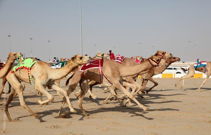 Гонки на верблюдах - одно из развлечений состоятельных арабов. Аджман - тот эмират, где можно стать свидетелем забега.
