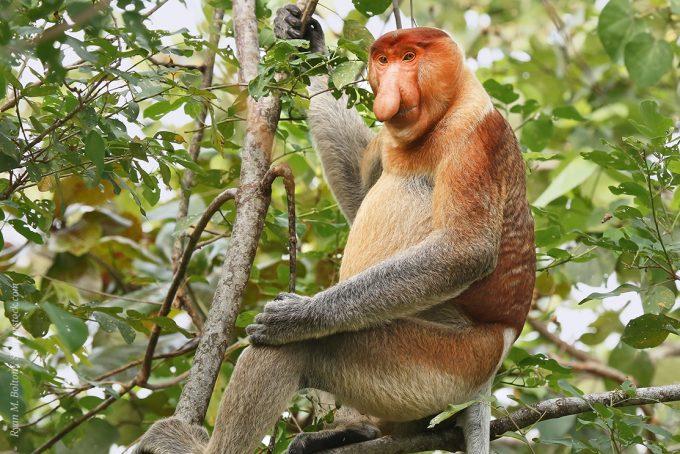 Эндемик страны - обезьяна-носач может встретиться вам недалеко от Кота Кинабалу, примерно в 2 часах езды от города, а так же в мини-зоопарке Лок Ка Ви и в национальном парке Сукау.