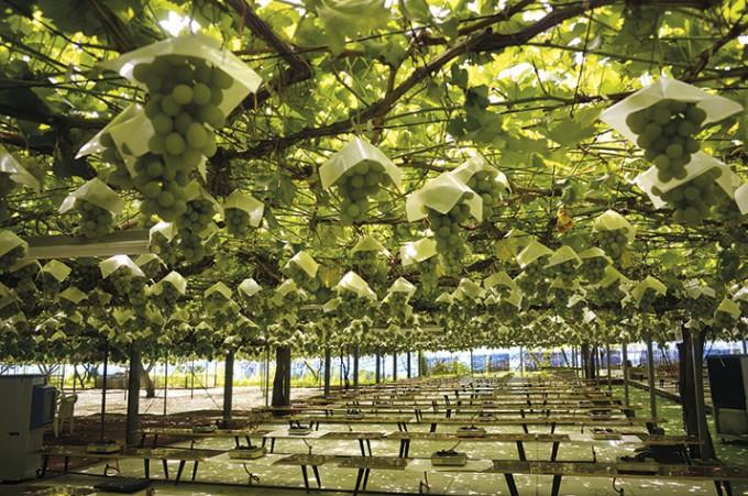 Фрукты и овощи в Сиронэ выращиваются экологически чистым методом, с минимальным количеством удобрений. Желающие могут поучаствовать в сборе урожая!