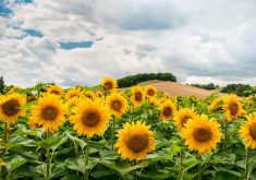sunflowers-1091637_1280